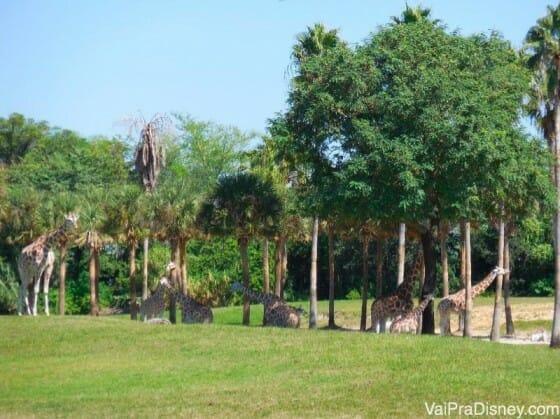 Safari do Busch Gardens. Gostei mais do que o do Animal Kingdom